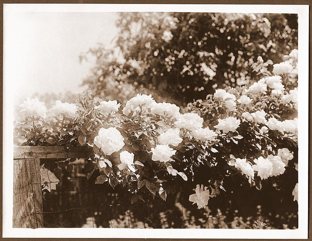 Flower Vines in Full Bloom Merced California Antique Photograph